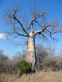 Baobab tree in Southern Africa